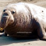 Wordless Wednesday – Piedras Blancas Elephant Seal Rookery (CA)