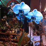 Wordless Wednesday – Blue Mystique Orchids #WW
