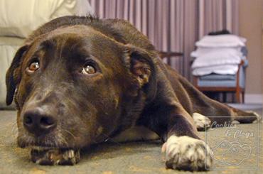 Sad dog face, Dog injury - torn ccl / acl