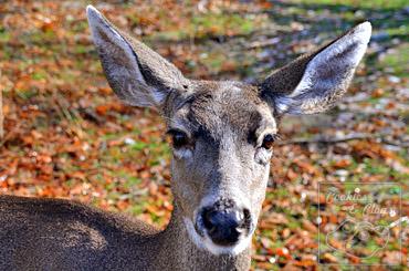 Yosemite Black Tailed Deer