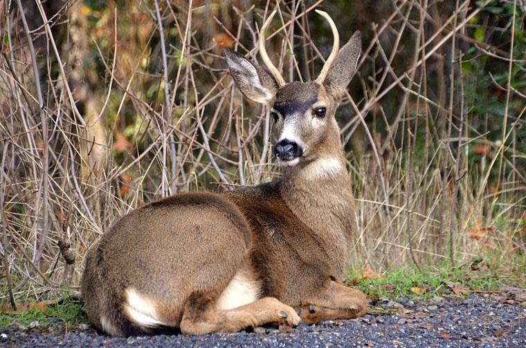 Yosemite Black Tailed Deer Buck