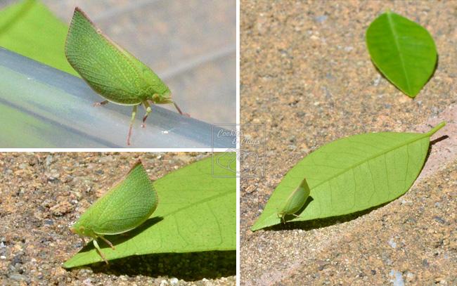Grasshopper looks like a leaf 11