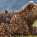 Disneynature's Bears movie now on Blu-ray, DVD, Digital HD, Disney Movies Anywhere #DisneynatureBears #spon
