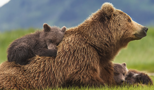 Disneynature's Bears movie now on Blu-ray, DVD, Digital HD, Disney Movies Anywhere #DisneynatureBears #spon
