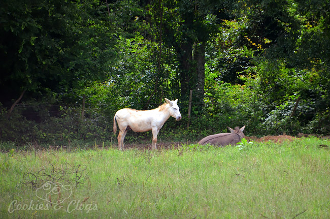 Rural roads in the state of Alabama, just outside Montgomery – Lone white donkey #Travel #Photography