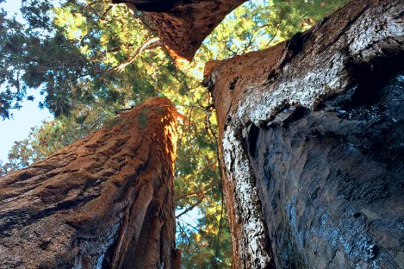 Nature Photography : Giant Sequoia Trees in California