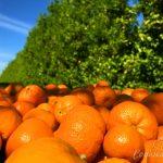 Harvesting Cuties – Citrus Farm Tour in Mariposa, California
