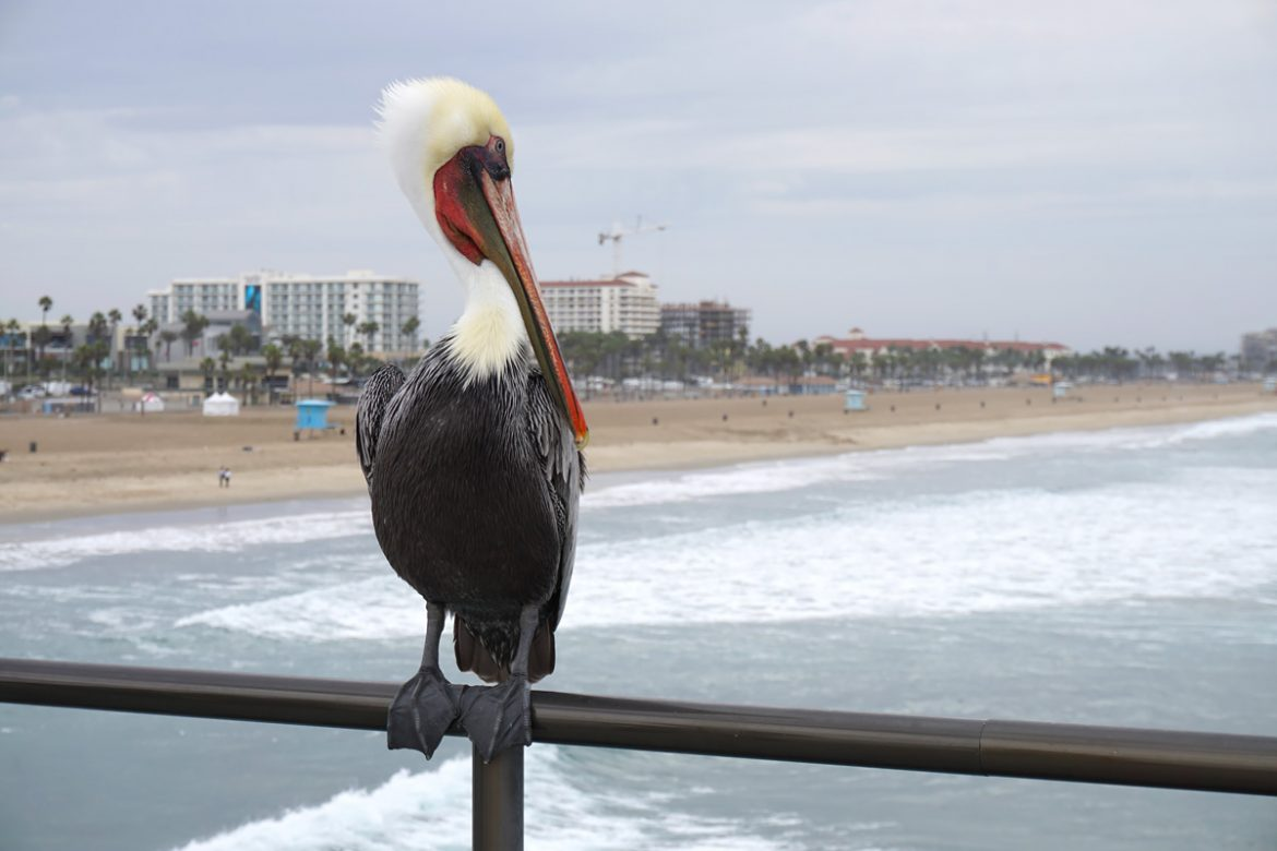 Cookies & Clogs | Travel | The next time you plan on going to Disneyland, you might want to pop by these places as you travel with kids. See where to stay, what to each, and things to do in Orange County, California. Pelican at Huntington Beach California.
