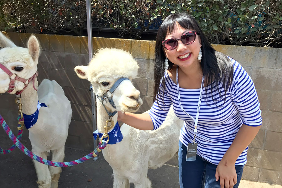 2018 Hyundai Sonata Event - visiting with two white alpacas