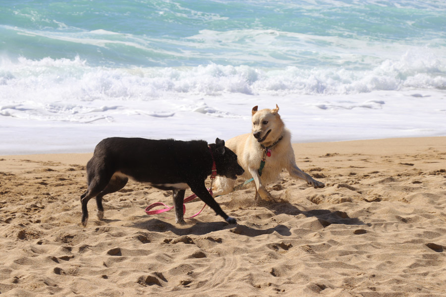 How to Care for a Senior Dog healthcare and wellness - black lab and blond lab playing at beach