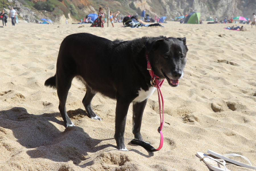 How to Care for a Senior Dog healthcare and wellness - Speckles senior dog tired at beach