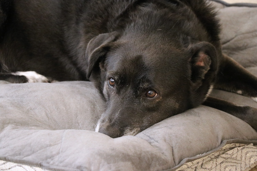 How to Care for a Senior Dog healthcare and wellness - Speckles laying on dog bed