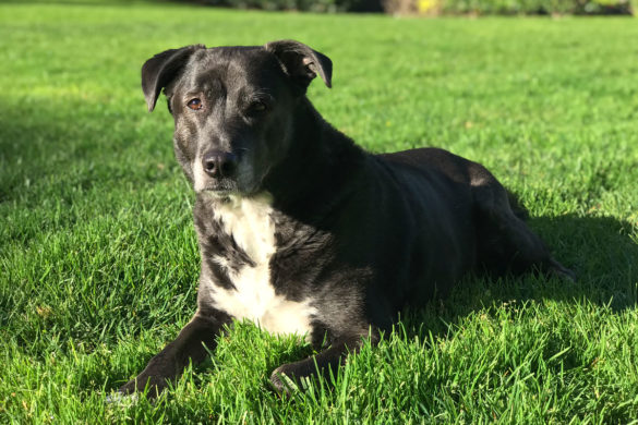How to Care for a Senior Dog healthcare and wellness - Senior dog lab laying in grass